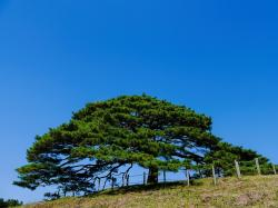 pine trees, pine, plant, japan, hill, sky