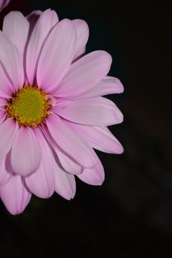 pink, daisy, colorful, petals, flora