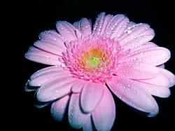 pink, gerbera, flower, romantic, fragrance, nature