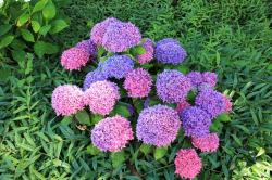 plant, flower, red, blue, hydrangea