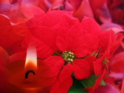 poinsettia, christmas, candle, background, greeting