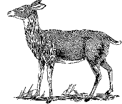 point, view, drawing, female, deer, grass, side