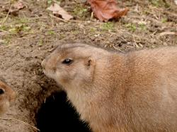 prairie dog, zoo, animals, rodent