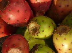 prickly pear, cactus, figs, fruits, red, edible, plant