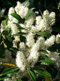 prunus laurocerasus, bush, flower, white, plant