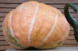 pumpkin, large, about, atlantic giant's dill