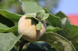 quince, fluffy, immature, fruit