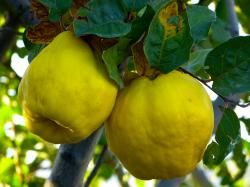 quince, fruit, plant, journal, tree, pome fruit