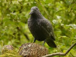 raven, fig, bird, forest, nature, crow, raven bird