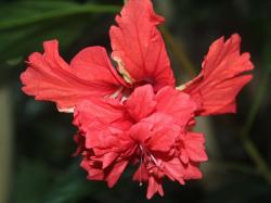 red, flower, beautiful, plant, nature, hibiscus