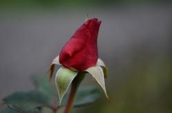 red rose, roses, leaf, nature, garden, macro, detail