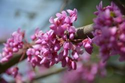 redbud, tree, nature, flowers, blooming, bloom, plants