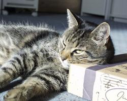 resting, lazy, tabbed, cat, animal, pet, feline, cute