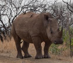 rhinoceros, south africa, savannah
