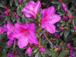 rhododendron, flower, pink, lilac