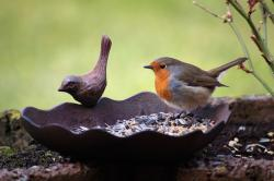 robin, bird, bird seed, bird bath, animal, eat, peck