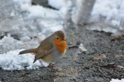 robin, bird, red robin