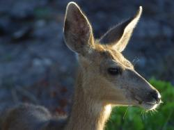 roe deer, wild, head, ears, mammal, animal, ear, fur