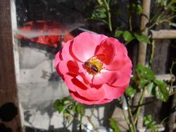 rose, flower, nature, plant, flowers, insect, bee
