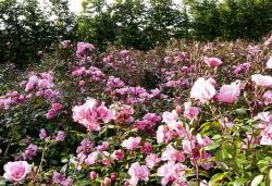 rose, flowers, pink, bed, garden, park, plant, flower