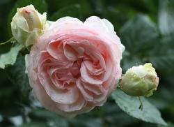 rose, rose blooms, flowers, pink, nature, spiny, plant