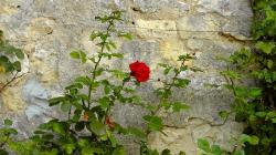 rose, wall, rosebush, lonely, globose, beautiful