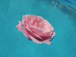 rose, water, pink, flower, macro