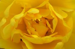 rose, yellow, petals, spur, rose bloom, yellow rose