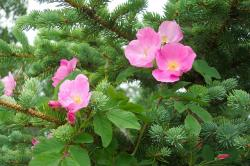 roses, pink, wild, pine, tree, background, flowers