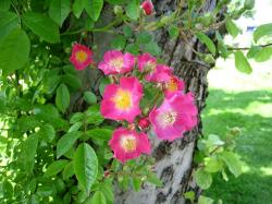 roses, simple, pink, tree, blade, green, park, summer