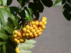 rowan, berries, plant, nature, bush, yellow