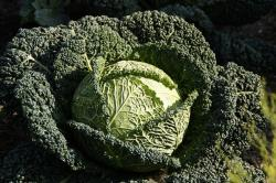 savoy, savoy cabbage, kohl, food, vegetables, vitamins