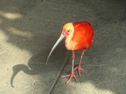 scarlet ibis, birds, close up