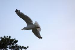 seagull, bird, animal, fly, sky
