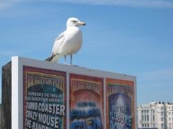 seagull, bird, brighton, pier, seaside, sussex