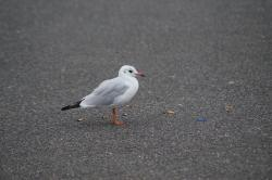 seagull, bird, foraging, cigarettes, garbage, waste