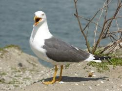seagull, bird, pets, gulls, animal, free, creature, sea