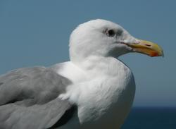 seagull, bird, waterbird, animal, feathered