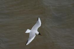 seagull, gull, bird, flight, sea, southwold