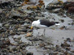 seagull, gulls, crab, crabs, wildlife, animals, food