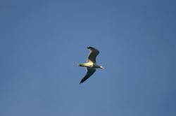 seagull, silhouette, bird, fly