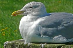 seagull, sitting, bird, waterbird, animal, nature
