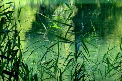 see, pond, reed, teichplanze, beautiful, pretty