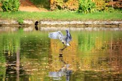 see, water, park, pond, mirroring, animal, bird, heron