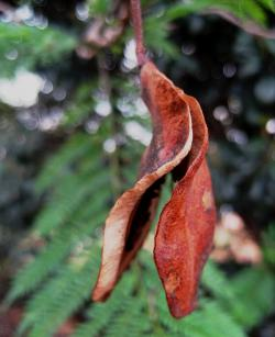 seed pod split, open, brown, curved, curled, rigid