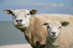 sheep, animals, lam, nature, spring