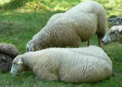 sheep, flock of sheep, flock, pasture, grass, meadow
