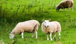 sheep, two, animal, animals, farm, pasture, field