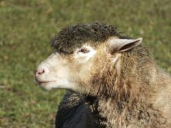 sheep, wool, animal, agriculture