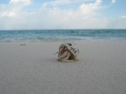 shell, creature, beach, maldives, sand, crab, peek